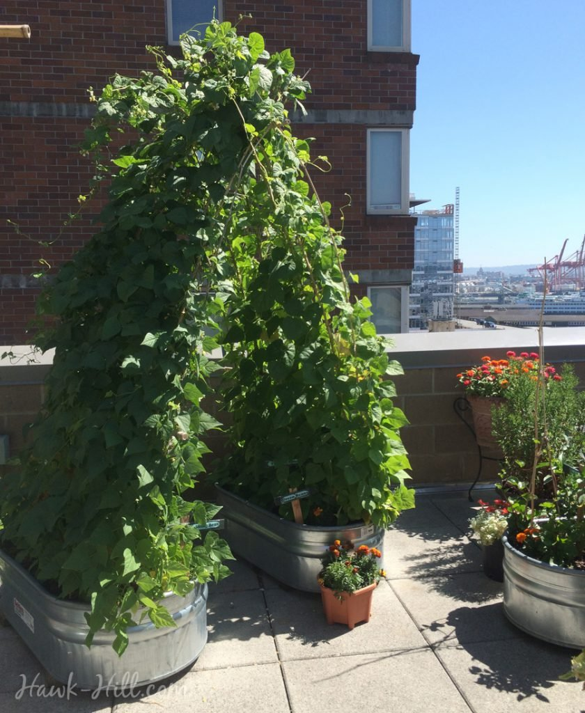 A green bean trellis archway at Pike Place Market's community garden