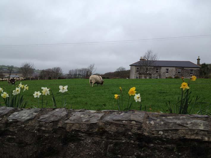 Sheep grazing in a field near wexford ireland