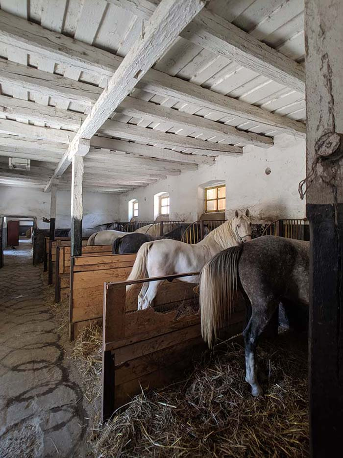 Lipizzaner horses tied in stalls in an old stable in transylvania, romania. A white horse looks back at the camera.