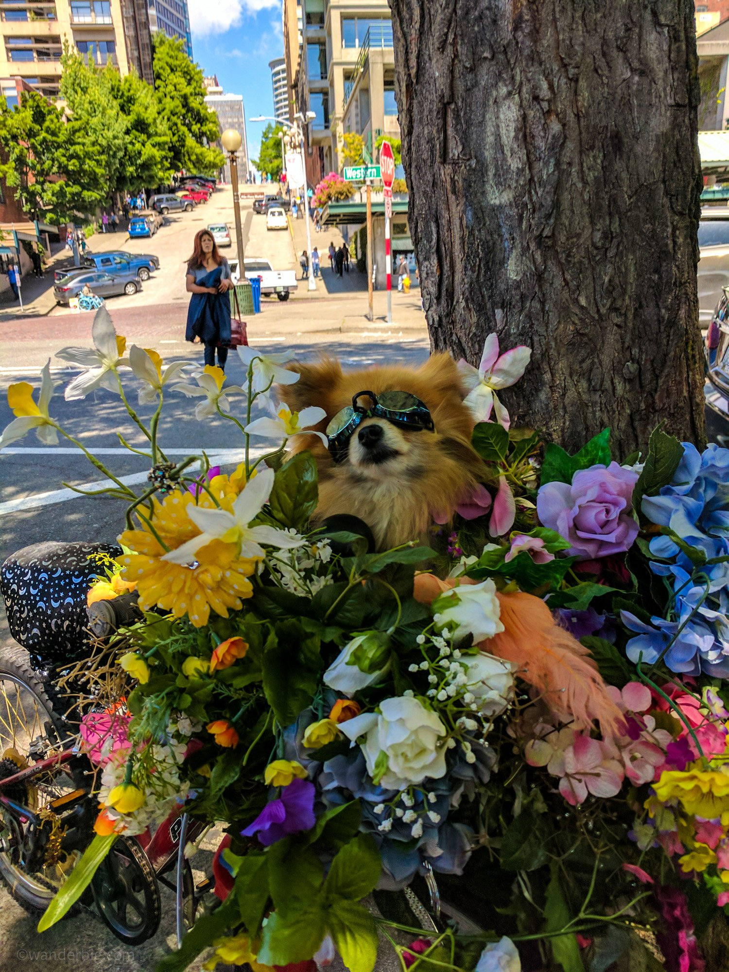 This pomeranian is a local legend in seattle and may have been the inspiration for the mural above.
