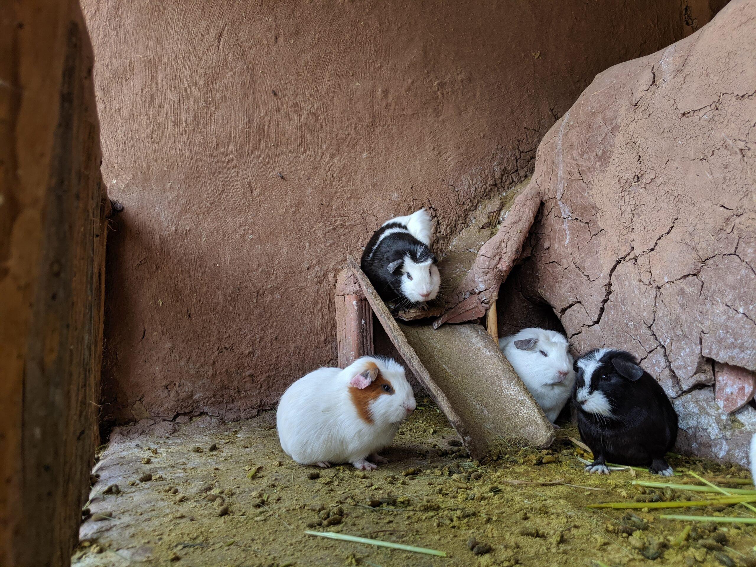 Guinea pigs on display in an enclosure in peru.