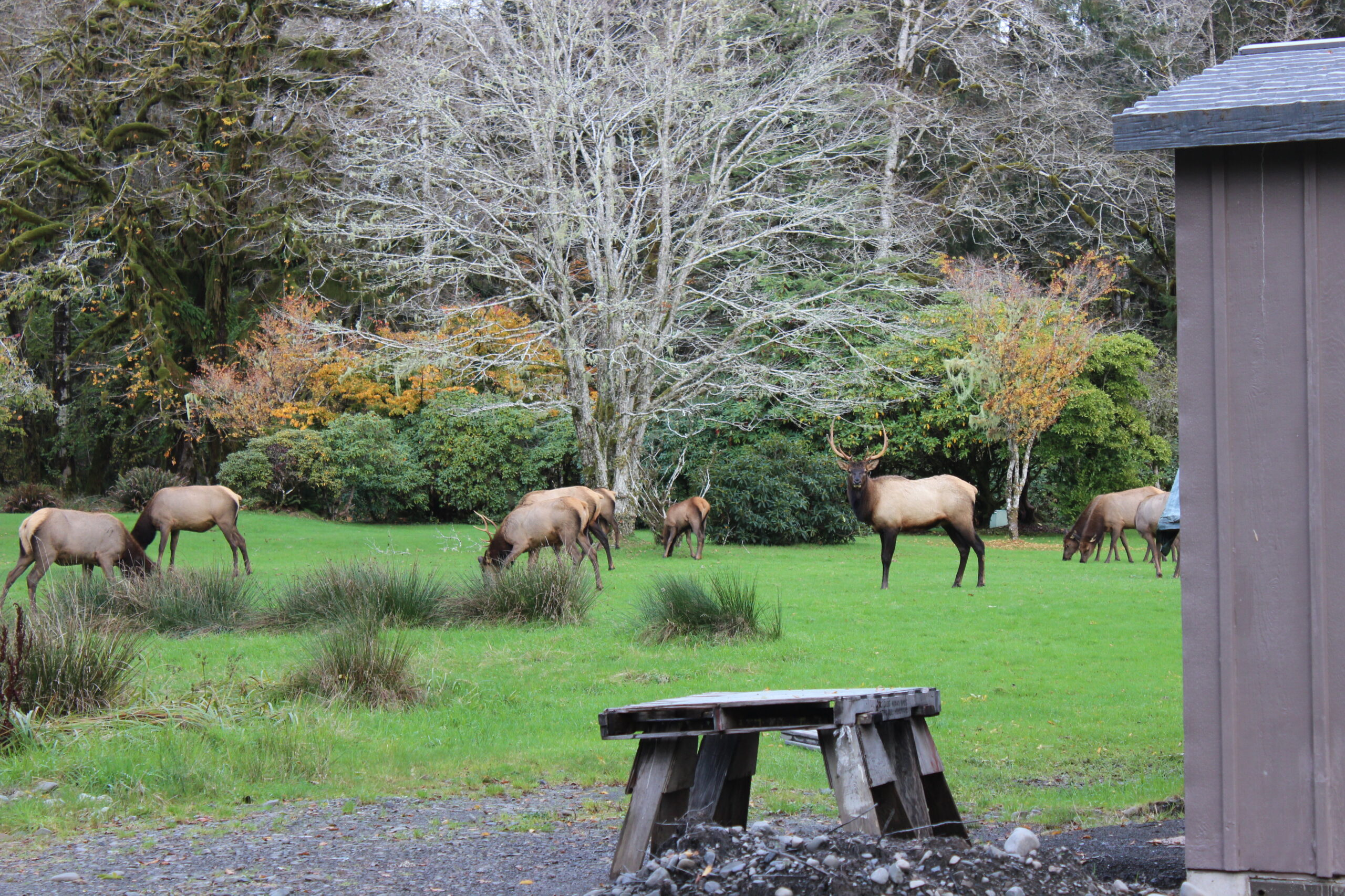 Elk graze in a green lawn near trees with autumn leaves.