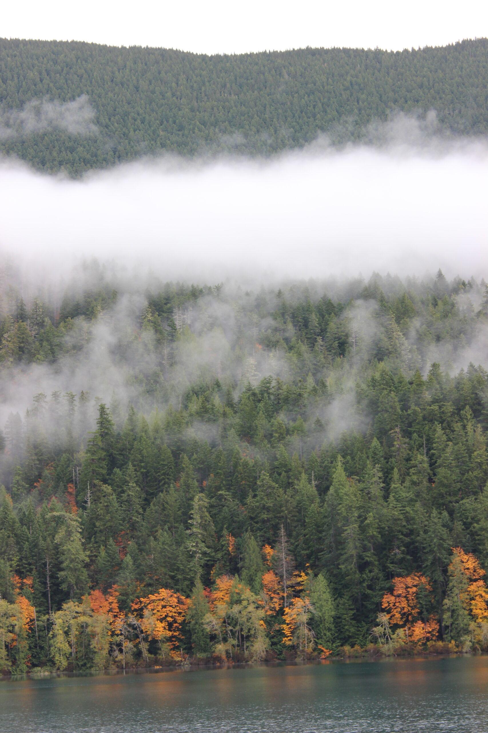 Fog shrouded fall trees near seattle.