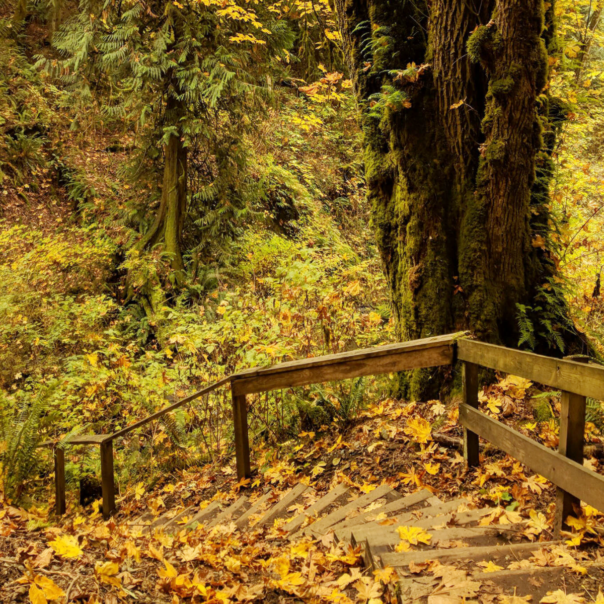 Golden trees at flaming geyser state park in the fall.