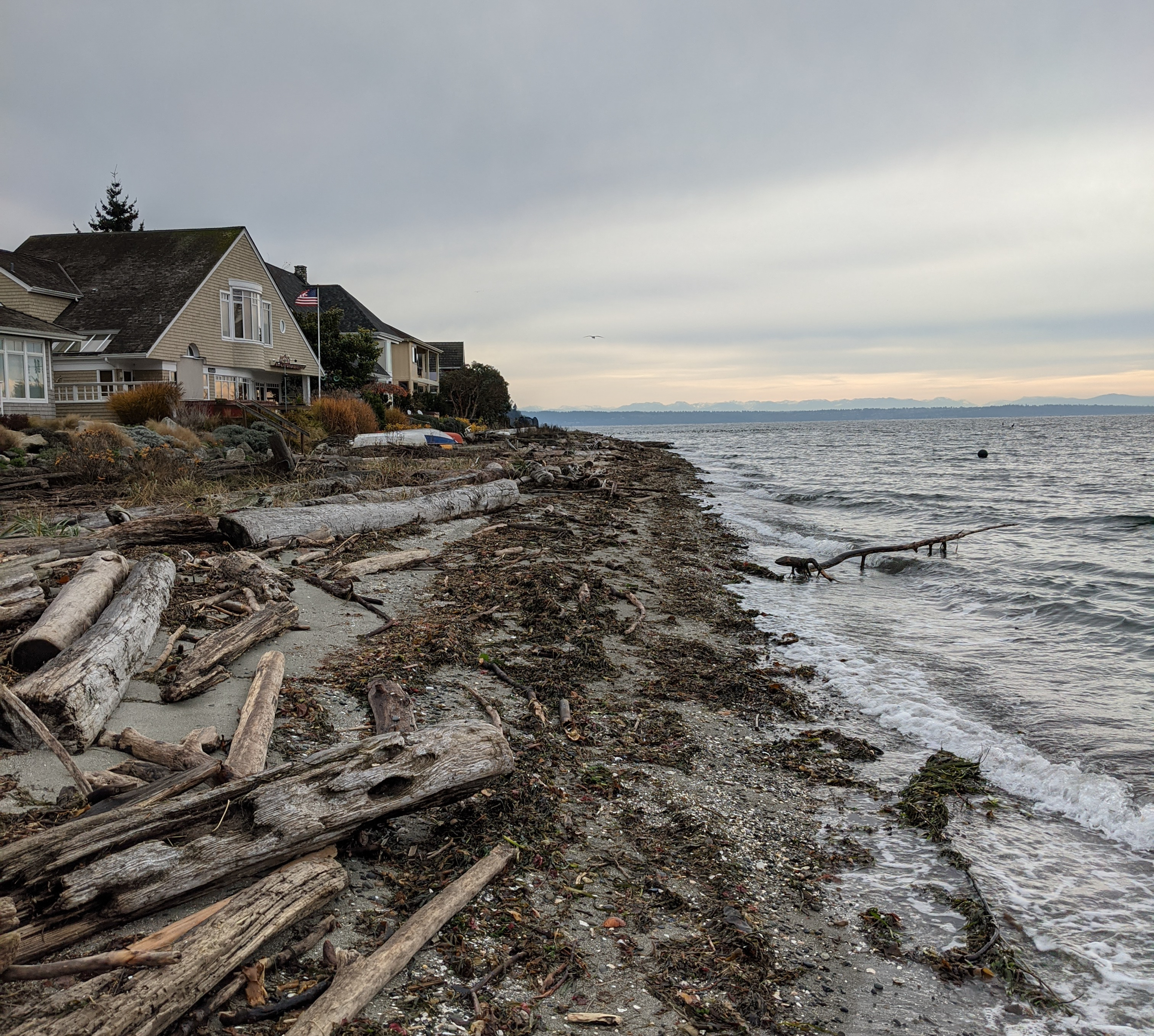 A winter beach scene in the pacific northwest with high tide washing seaweed onto the beach.