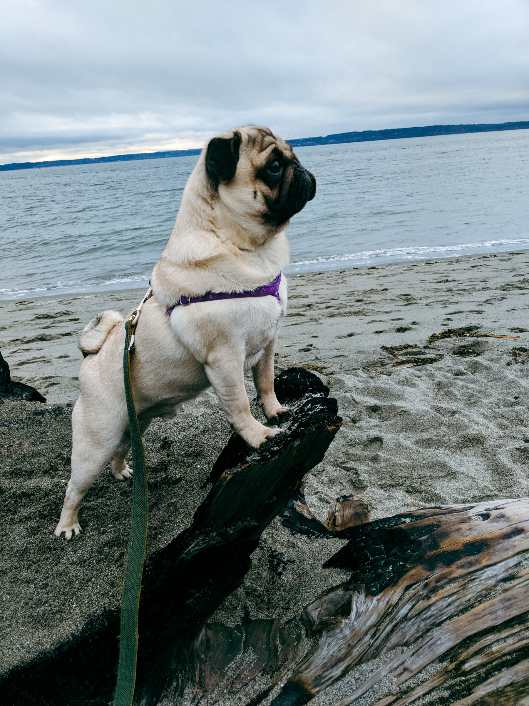 A dog poses on a rock in front of a beach.