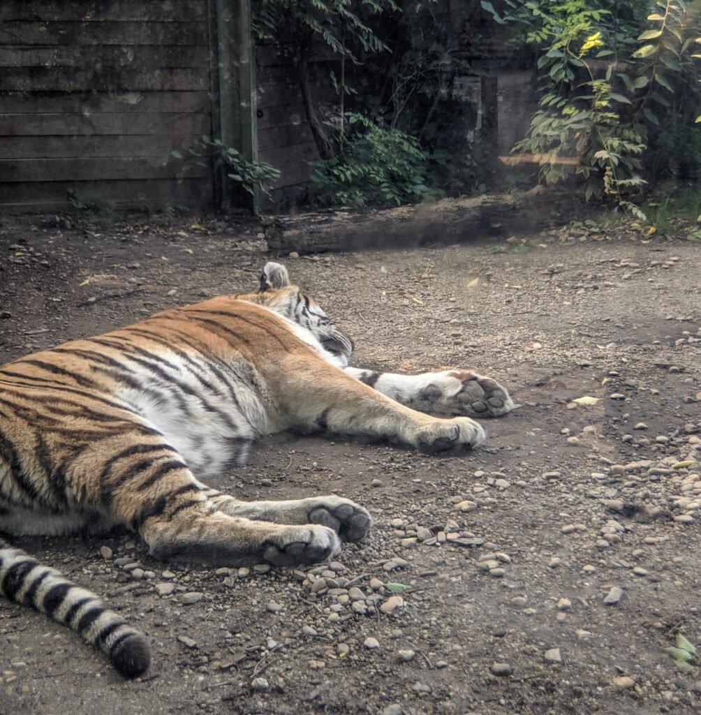 Tiger sleeping at budapest zoo.