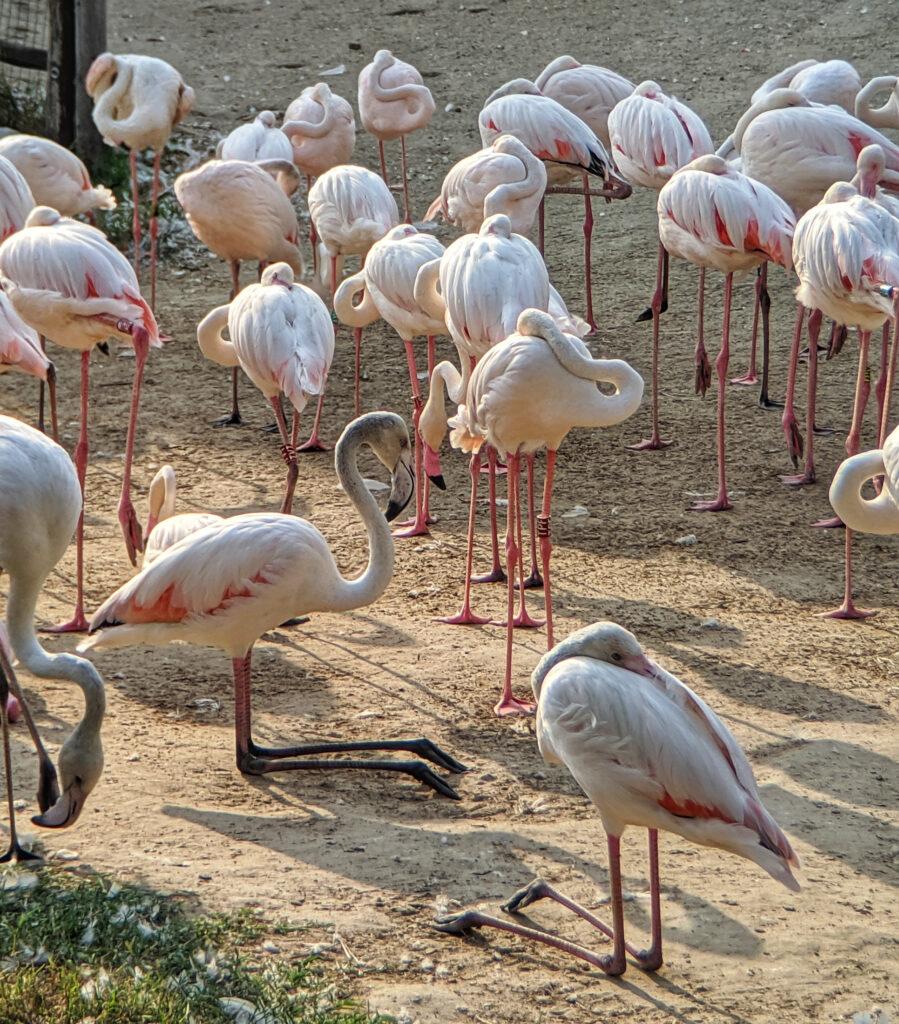 Flamingos at budapest zoo.