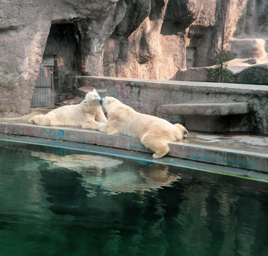 Pilar bears at the budapest zoo.
